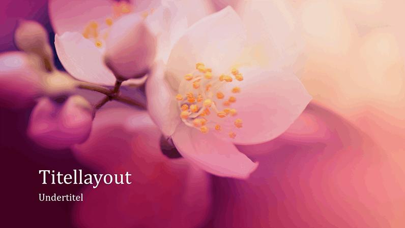Naturpræsentation af kirsebærblomster (widescreen)