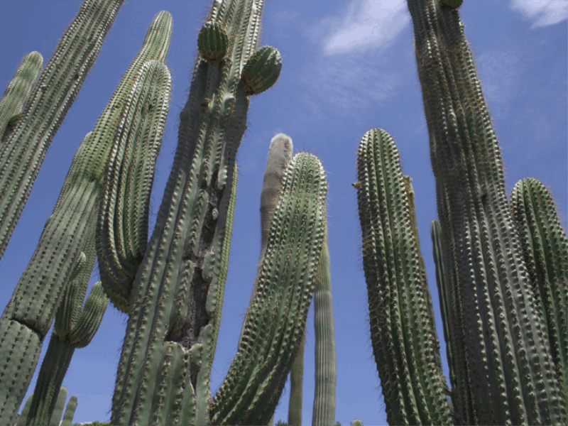 Thème désert - Cactus géants