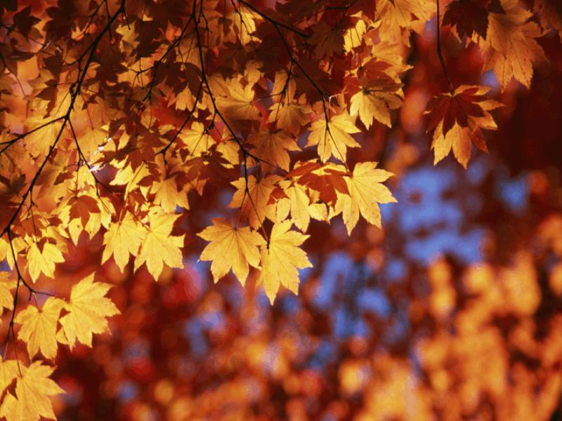 Thème automne - Feuilles rousses