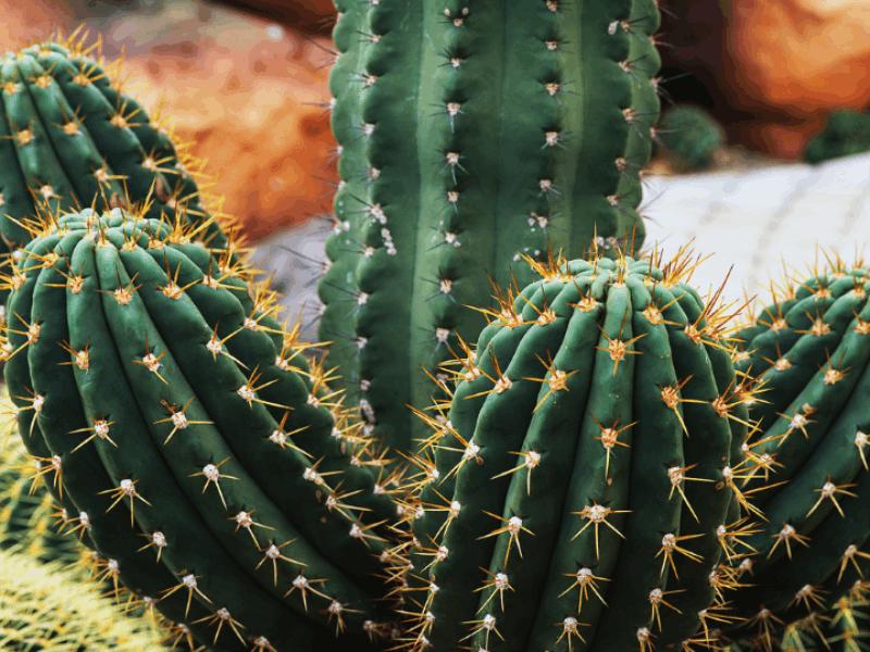 Thème désert - Cactus en gros plan