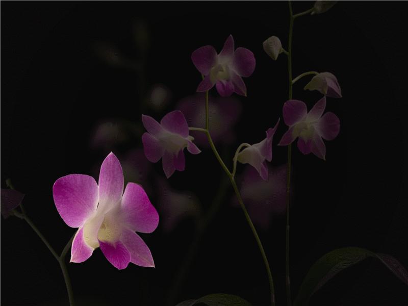 Animerte kronblader i vind